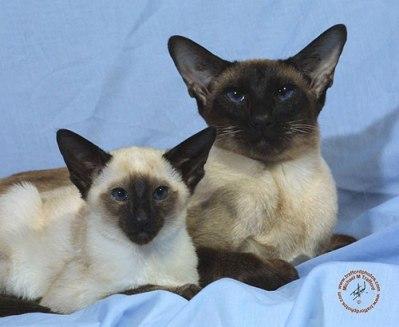 Siamese-Cat-3