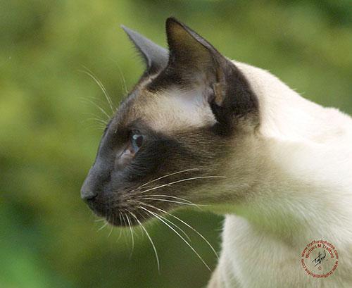 Siamese-Cat-7