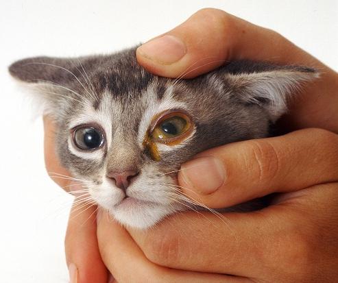 токсоплазмоз у кота симптомы
