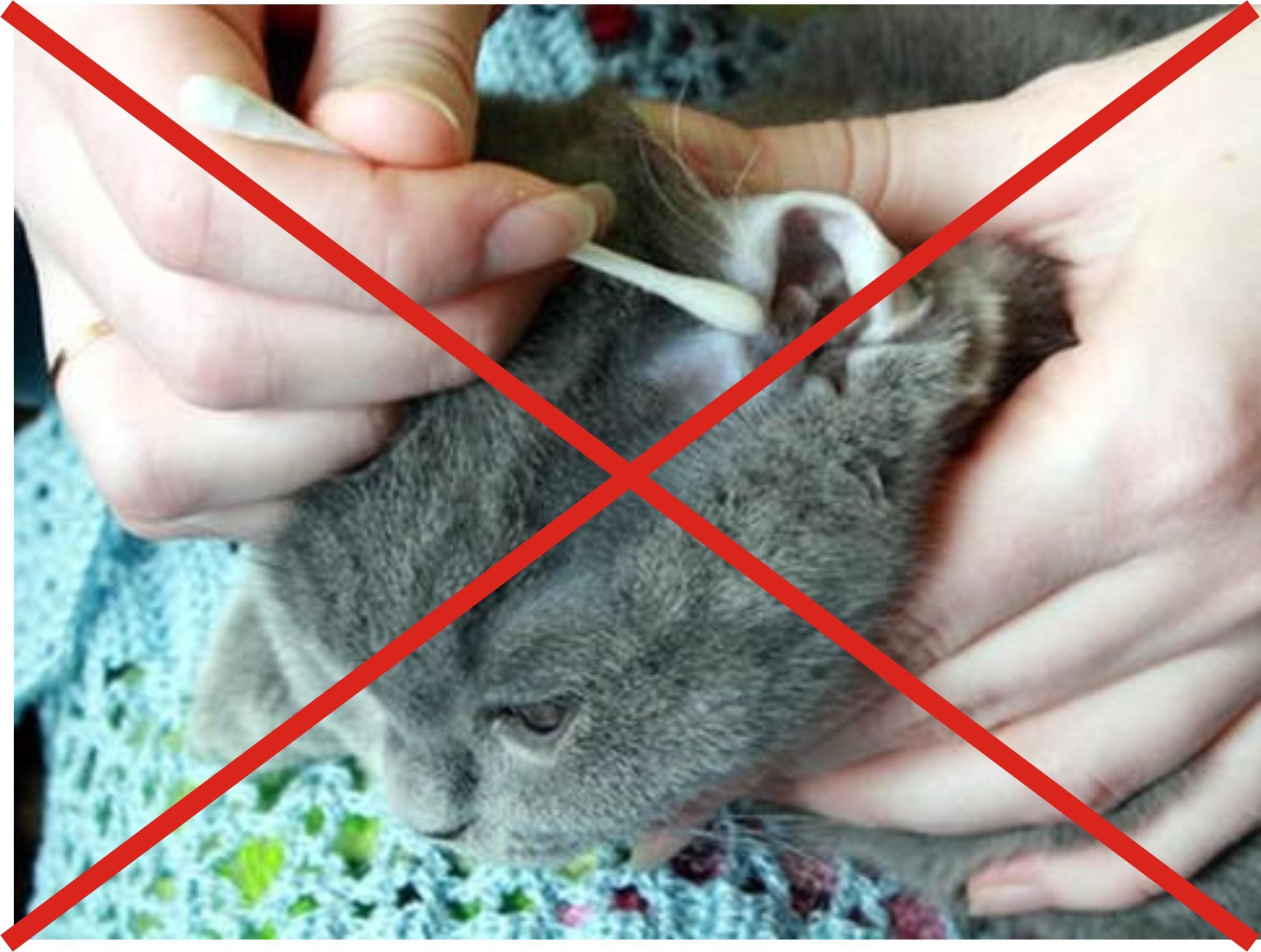 Как почисть уши коту в домашних условиях