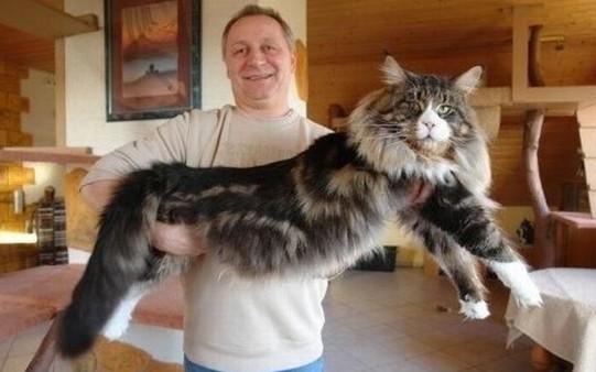 Порода котов самая крупная