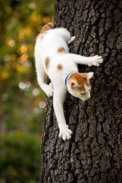 """Спуститься вниз по дереву кошке гораздо труднее, чем забраться наверх, обычно для этого она включает """"задний ход"""". Это связано со строением когтей кошки и недостаточной их мощностью, чтобы выдержать вес животного, спускающегося головой вниз. Но эта красавица (или красавец) демонстрирует нам отличные навыки, хотя и немного боится. Автора фотографии выяснить не удалось"""