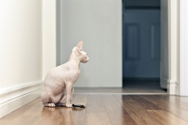 Animals___Cats_Beautiful_sphinx_cat_is_sitting_on_the_floor_045114_