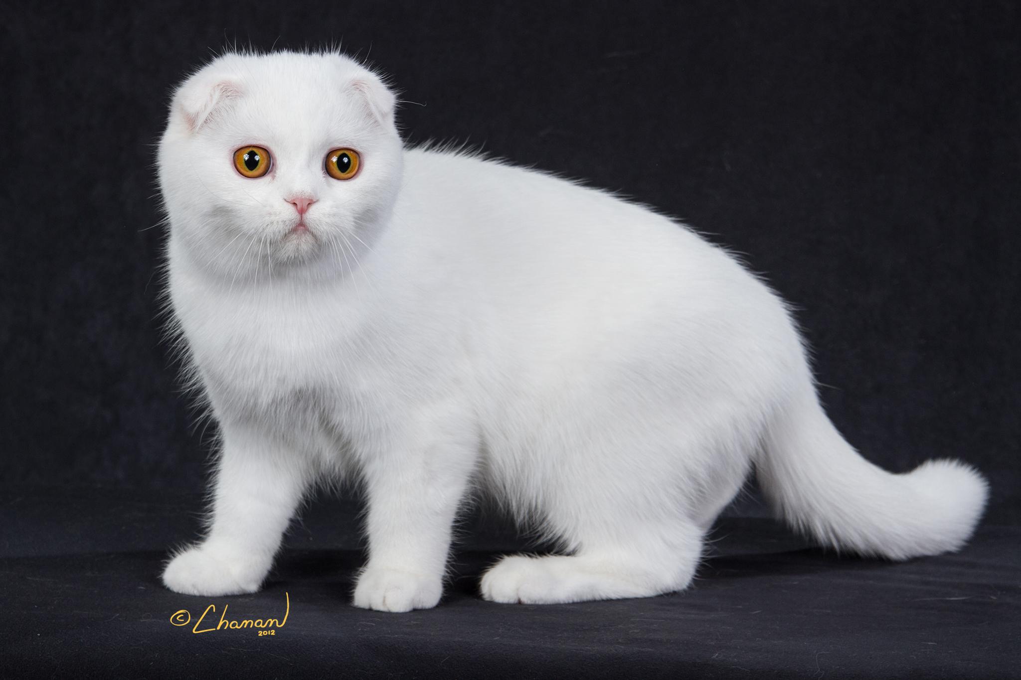 Шотландская вислоухая кошка  белая