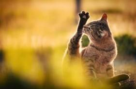 В день на личную гигиену кошка тратит от 30 до 50 % своего времени. Вылизываясь, она не только ухаживает за шерстью, но ещё регулирует теплообмен, удаляет ненужные запахи, выдающие её во время охоты, успокаивает себя. На вылизывание шерсти наши животные тратят столько же жидкости, сколько выделяют с мочой! Этот факт, напоминает владельцам о правильном питьевом режиме для кошки.