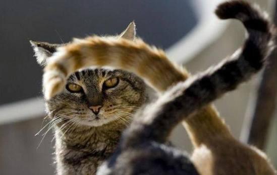 Все дикие кошки при ходьбе держат свои хвосты горизонтально или опущенными вниз, и лишь домашние кошки поднимают хвост трубой, когда идут по важным делам или приветствуют хозяина.