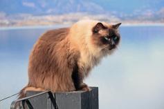 Этого роскошного рэгдолла зовут Тэдди, ему пять с половиной лет. Вместе с хозяином Джимом Седжвиком они живут в Келоуна, на крайнем западе Канады, на восточном берегу озера Оканаган, каждый день имея возможность любоваться красотой этого дивного края.