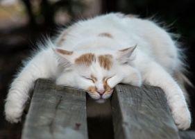 Любой человек, страдающий бессонницей, может позавидовать кошкам, которые без всяких снотворных запросто засыпают в любом удобном для них месте и в самых невероятных позах. В среднем, наши питомцы спят от 14 до 22 часов сутки, но обычно владельцы не замечают этого, потому что периоды сна и бодрствования у кошек достаточно непродолжительные.
