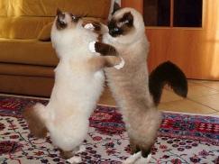 Любимцы старенького господина из Лозанны - Кракот и Калипет ни в чём не знают отказа. Как вы думаете чем занимаются эти две великолепные священные бирмы по вечерам? Они танцуют танго! Во всяком случае так считает их владелец, который и сделал этот прекрасный снимок.