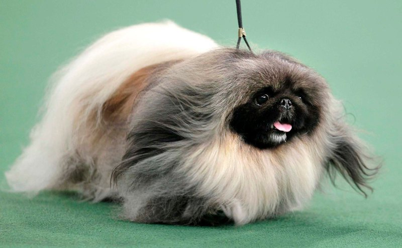 Malachy, a Pekingese, competes for Best in Show. (Seth Wenig/Associated Press)