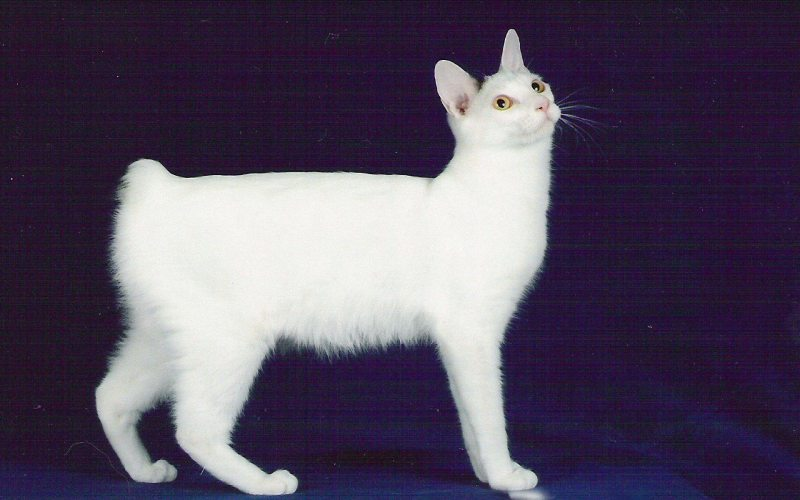 2891_japanese_bobtail_cat