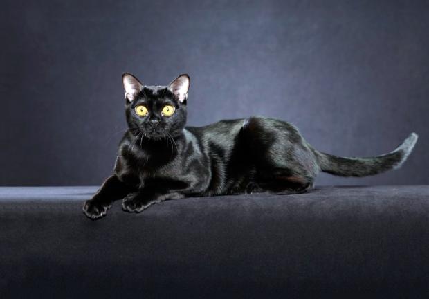 bombay_cat