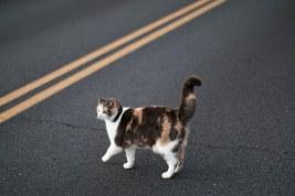 Некоторые кошки умеют переходить дорогу, но такие навыки у них встречаются нечасто. Обычно они стрелой выскакивают на проезжую часть не то со страха, не то от кого-то убегая... Водителям нужно помнить об этом и в городах, и в сельской местности особенно сейчас, осенью, когда тёмное время суток значительно увеличилось, а дороги мокрые. Автор фото Белен Томас.