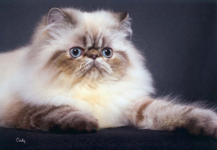 Himalayan-Persian-Cat-712x493
