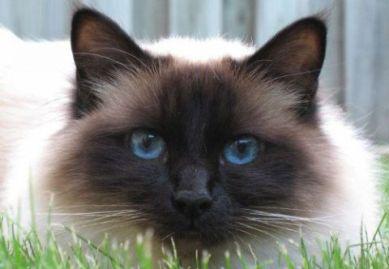 sacred birman cat