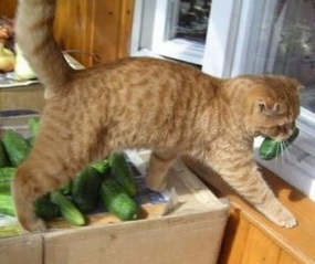 кот-ест-огурцы