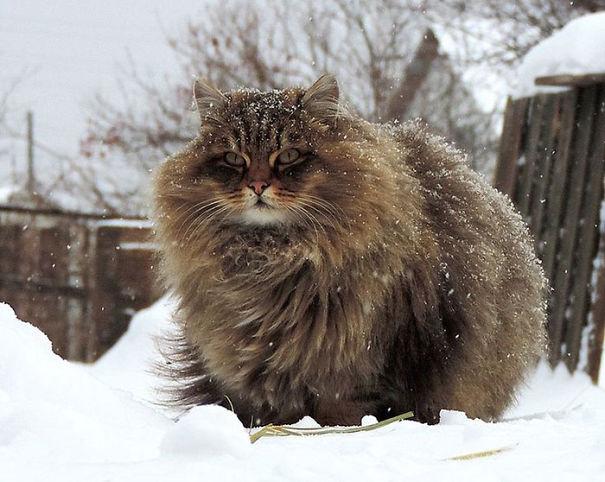 Картинки по запросу образ мохнатого кота