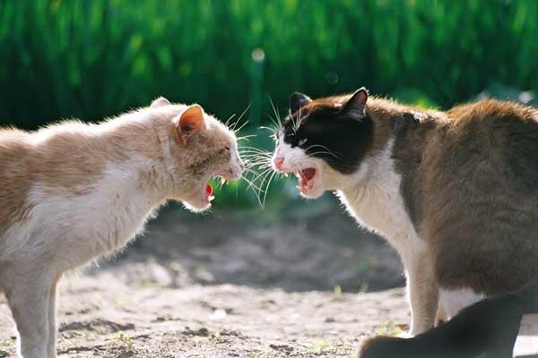 коты дерутся 13