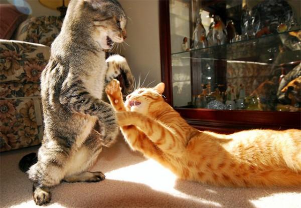 коты дерутся 3