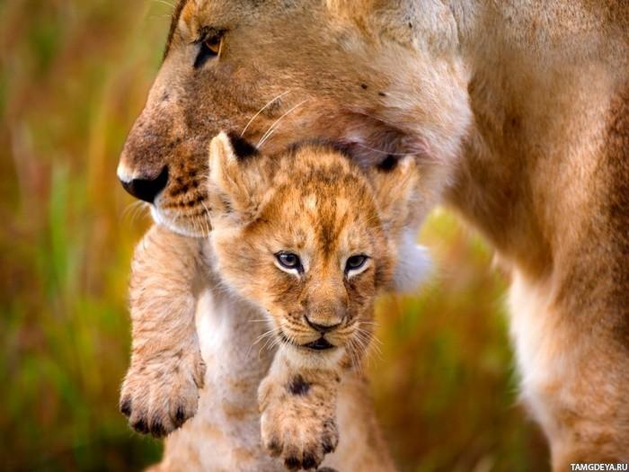 львица несёт львёнка
