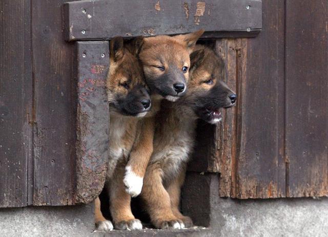 dingo-babies