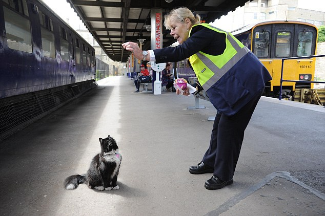Pictured: Felix, who works at Huddersfield Railway Station in West Yorkshire, has been given a promotion after nearly five years of service. The black and white cat is now Senior Pest Controller and has been given a new high-vis jacket and name badge. PHOTO TAKEN IN 2013 SEE WORDS BY GUZELIAN A cat who has spent almost five years patrolling a West Yorkshire railway station has been given a promotion for his dedication to his job. Felix, a black and white cat, has been named Senior Pest Controller and given a new high-vis jacket and a name badge on behalf of TransPennine Express.. She has been working at Huddersfield Railway Station since 2011, catching mice and making friends with commuters on a daily basis. Felix arrived at the station as a nine-week-old kitten to take up the important role of ensuring platforms are free of mice and other vermin.